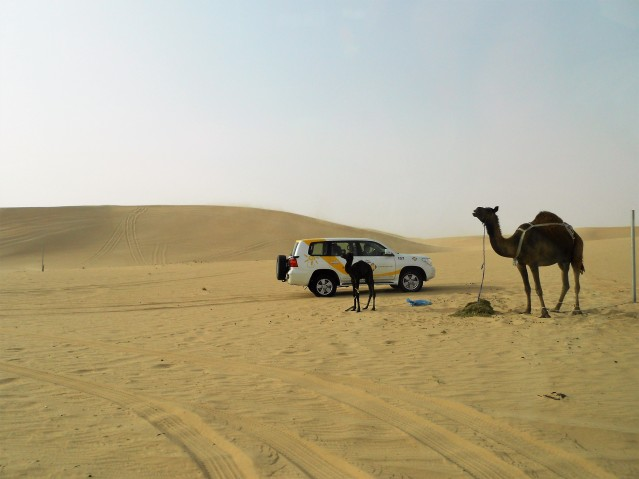 two-camels-in-the-dessert-with-a-jeep-behind-desert-safari